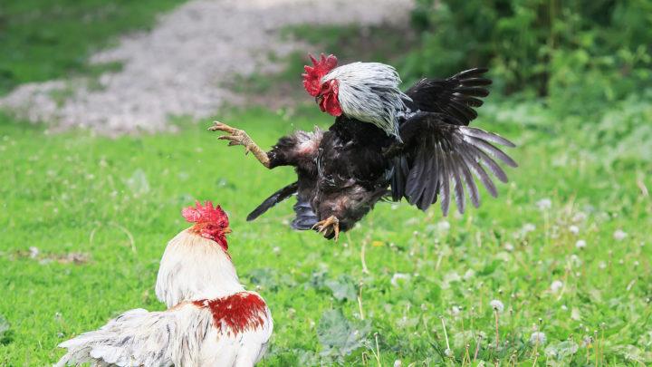 Kesehatan Ayam Sabung