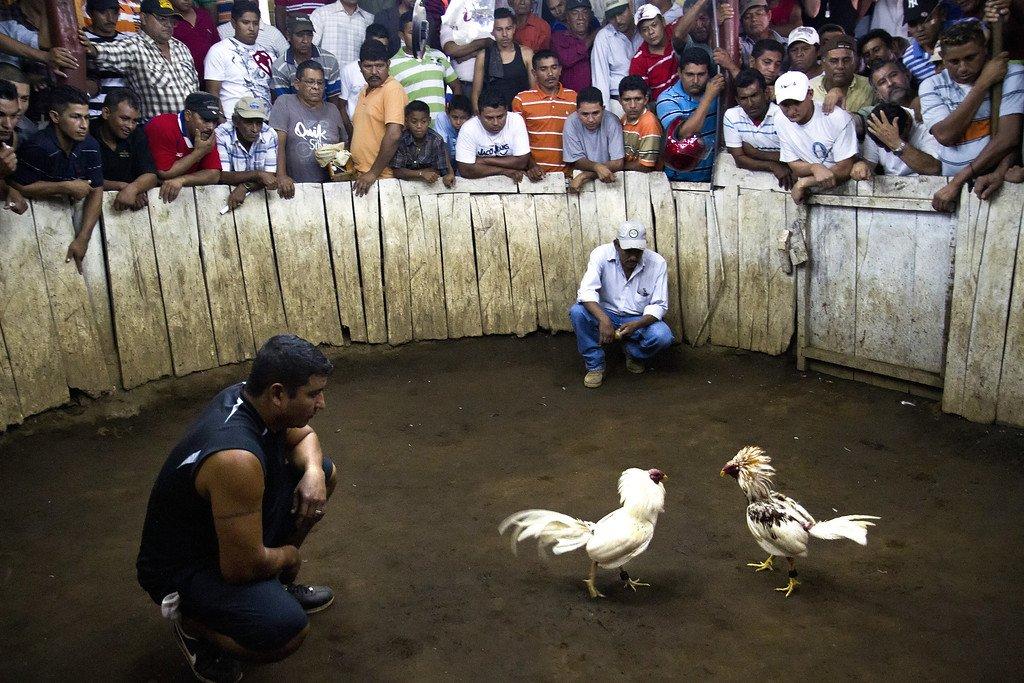 Riwayat Ayam