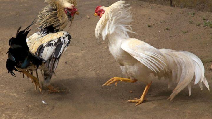 Tips Memilih Ayam Terbaik dalam Judi Sabung Ayam